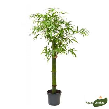 bambou d intérieur