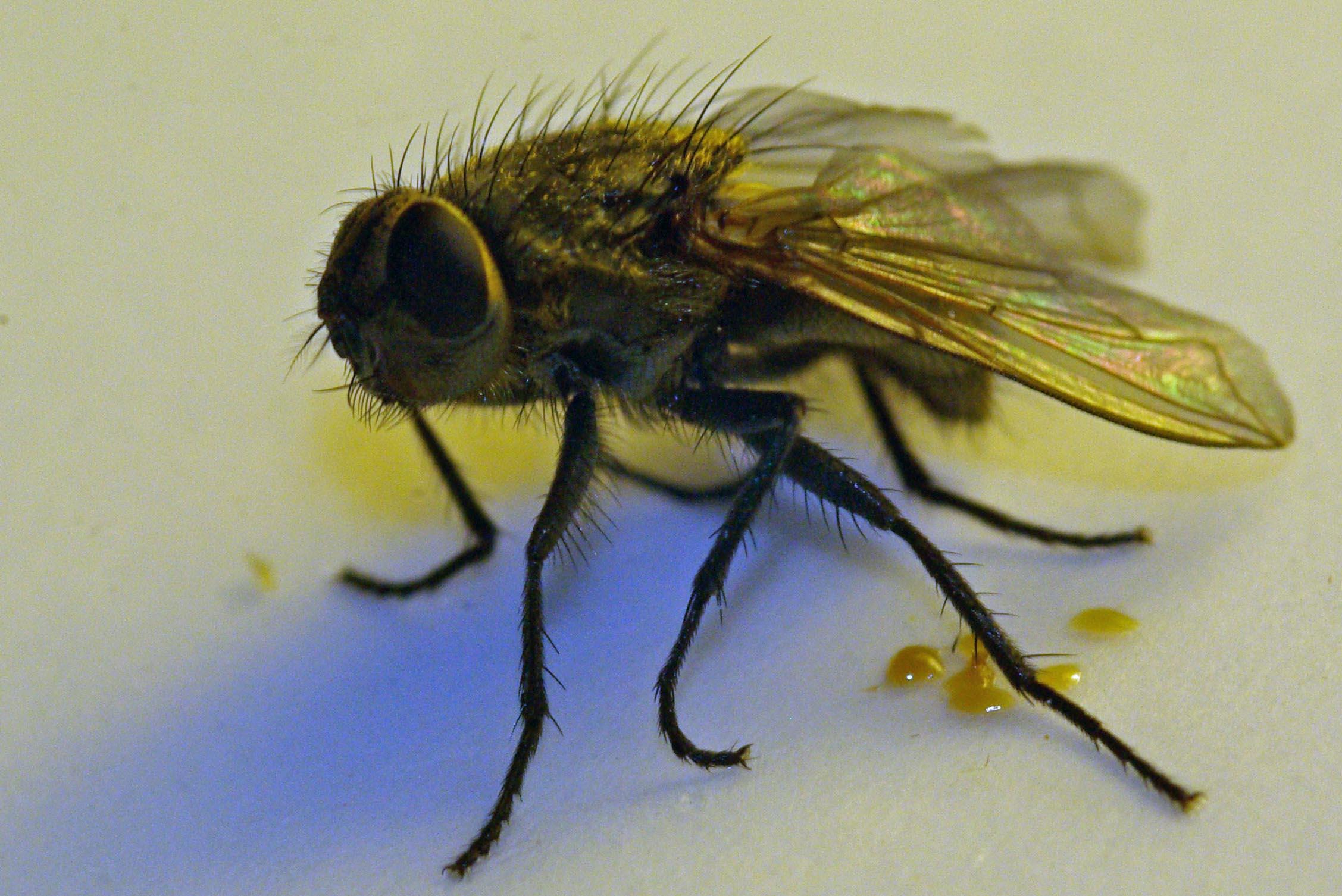 des mouches dans la maison